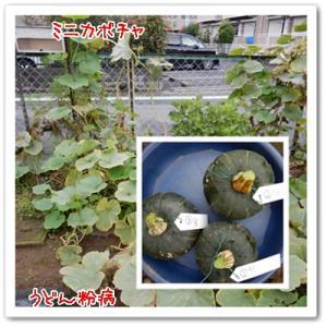 今日の菜園(ミニカボチャ)