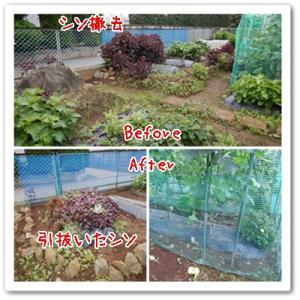 今日の菜園(追肥と撤去)