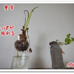里芋の観葉植物化終了