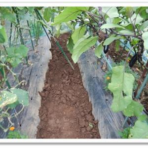 今日の菜園(7月収穫実績)