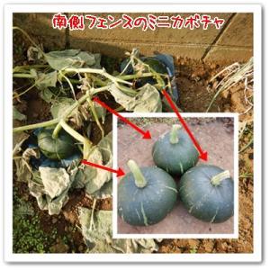 今日の菜園(水やり)