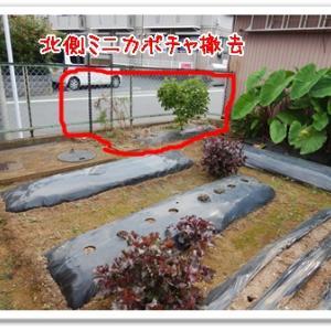 今日の菜園(掘出しと撤去)