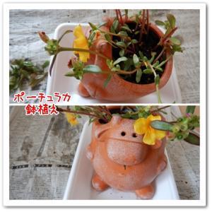 ポーチュラカの鉢植え