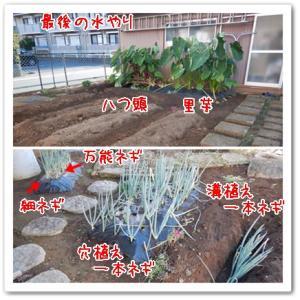 今日の菜園(ホース取外し)