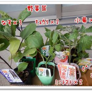 夏野菜苗の購入
