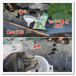今日の菜園(漏斗で追肥)