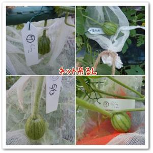 今日の菜園(小玉スイカ)