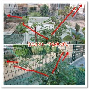 今日の菜園(ミニトマト)