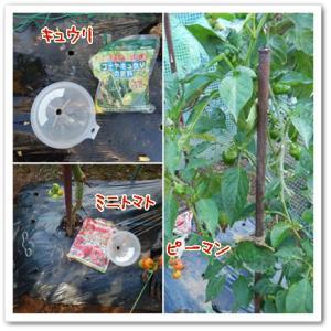 24日今日の菜園(畝間へ追肥)