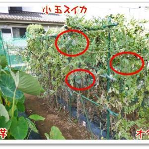 今日の菜園(台風対策)