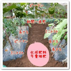 今日の菜園(間引きと追肥)