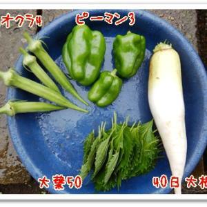 今日の菜園(雨でも収穫)