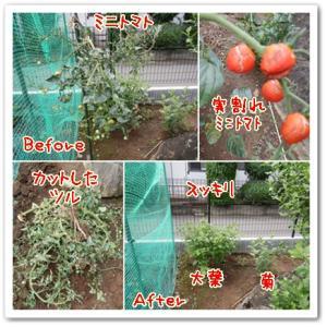 今日の菜園(ミニトマト撤去)