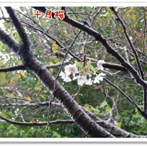 秋の気配、十月桜