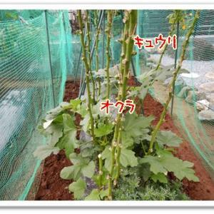 今日の菜園(追肥作業)