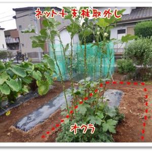 今日の菜園(キュウリ撤去)