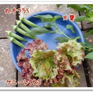 今日の菜園(サンチュ定植)