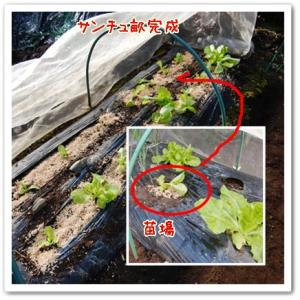 今日の菜園(秋ジャガ発芽)