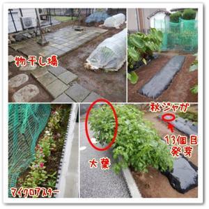 今日の菜園(濡れました)