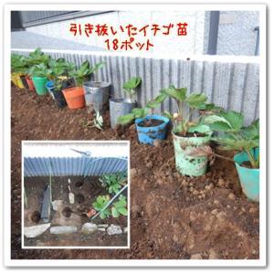 今日の菜園(イチゴ苗)