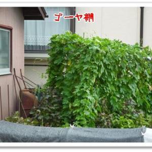 今日の菜園(台風の影響)