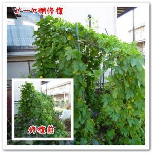 今日の菜園(ゴーヤ棚修復)