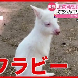 """まるでウサギ? 真っ白な""""赤ちゃん""""ワラビーが誕生 ロシア(2021年5月26日放送「news every.」より)"""