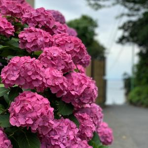江ノ島紫陽花詣で①