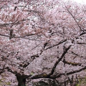 桜の季節です。EOSで撮影しました。
