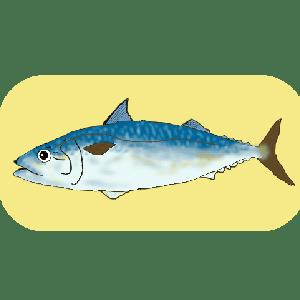 元鮨職人に聞いた魚と料理の話 鯖編