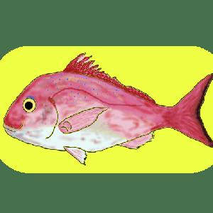 元鮨職人に聞いた魚と料理の話 真鯛編