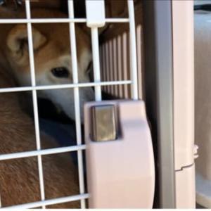 保護犬達の状況についてお知らせ(柴犬とトイプー達)