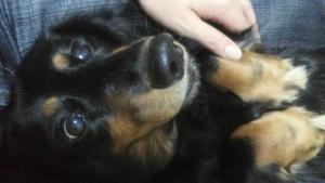 避妊手術で犬の病気は避けられる?避妊手術しなかった我が家の犬達の経験談