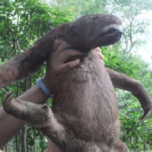 アマゾンでかわいい野生のナマケモノに会ってきた!【動物好き必見】