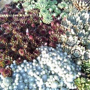 センペル、セダムのムギュムギュ寄せ植え鉢の異変!ビーズみたいに小さなイシクラゲが隙間に大量に発生、、