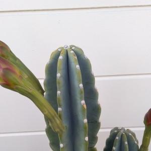 柱サボテンの花とトルカの花。テラスにハンモックが欲しいけど置けない話