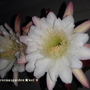 柱サボテンの花。何とか間に合いました♪