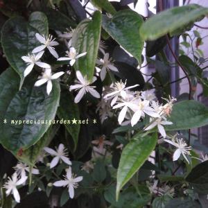 夏の花、残暑の花【2】~真夏の芳香性クレマチスとシェードガーデンの花~