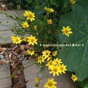 夏の花、残暑の花【3】~猛暑に負けず繰り返し毎日沢山花を咲かせる宿根草~