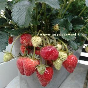 ベランダ栽培いちご特集、その他の庭なし小さな家の果物たちの事も