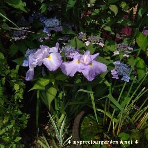 6月の定番、姫睡蓮・紫陽花・花菖蒲など