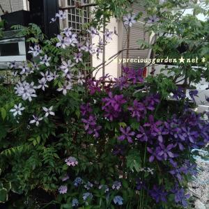 インテグフォリア系クレマチス「アフロディーテエレガフミナ」と「流星」の微香性の花の香り。栽培8年目にして芳香を発見。