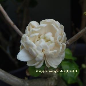 香る花と夏の果実。茉莉花(マツリカ)が先月からずっと咲いています