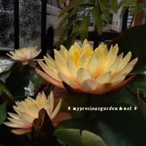 毎日咲いている睡蓮&ネムノキ(予約投稿)