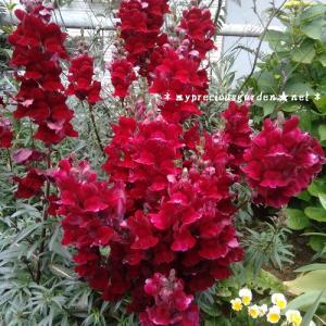 6~7月の百合。6月のミステリードリーム&見頃を迎えたヤマユリ。キンギョソウ「ブラックプリンス」の夏の花と初夏の花