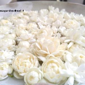 樹齢12~20年以上。夏の間毎日咲き続ける鉢栽培の夏の花3種 その1 茉莉花 ( マツリカ / ピカケ / アラビアンジャスミン  /  ジャスミンサンバック )