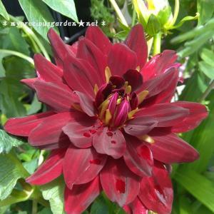 8月頭に咲き始めたダリアと載せ忘れていたクレマチスの2番花の事など