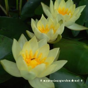 樹齢12~20年以上。夏の間毎日香り咲き続ける鉢栽培の夏の花3種 その2 睡蓮 ( スイレン )