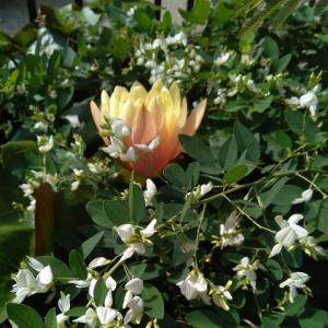白萩(シロハギ)の池に浮かぶスイレンの花。9月の水連鉢回りの様子