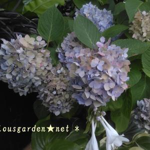 秋色アジサイになってきた我が家の紫陽花
